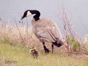Canada Goose and Hatchling