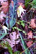 Fawn Lily 3